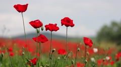 Field poppy, red flower that grows on roadsides frail in the beating wind Stock Footage