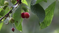 Cherries ripe, are red but also green, unripe. Spring rain, bring water neede - stock footage