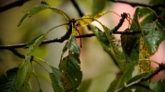 Cherry branch with leaves yellowed and damaged by a disease of cherry Stock Footage