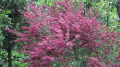 Cytisus bush pink, bloom, Late Spring in the wind. Around the whole of nature Stock Footage