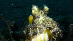 Coconut Octopus sitting tilt up from suckers Stock Footage
