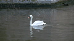 White swan swimming in Dijver Canal in Bruges Stock Footage