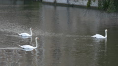 Three white swans swimming in Dijver Canal, Bruges Stock Footage