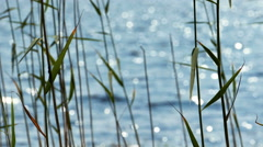 Reed Leaves With Lake at Background - stock footage