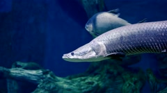 Rear fish in oceanarium enlighted pool Stock Footage