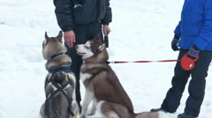 Huskies Dogs on a Snow Background Stock Footage