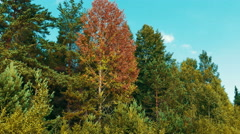 Autumn Red Leaves Rustle in The Aspen, Long Shot Stock Footage