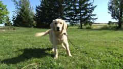 Yellow Golden Dog In Back yard - stock footage
