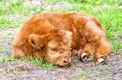 Hairy cow calf - stock photo