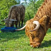 Hairy cow feeding - stock photo