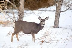 Canadian Mule Deer in the Snow - stock photo