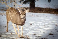 Canadian Mule Deer in the Snow Kuvituskuvat