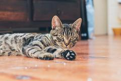 Lazy young tabby cat lying on wooden floor in house. - stock photo