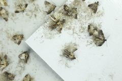 Flour moths Stock Photos