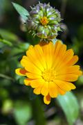 Calendula flower  . close up - stock photo