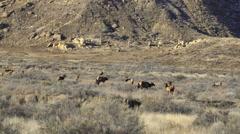 Herd of Elk in Winter Desert Landscape 2 Stock Footage