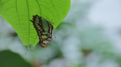 Close up of Malachite Butterfly resting on leaf Stock Footage