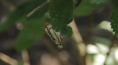 Malachite Butterfly fluttering on leaf Stock Footage