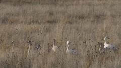 Snow Geese Hidden in Grass Bob Their Heads in Evening Sun Stock Footage