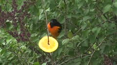 Baltimore Oriel eating an Orange Slice, then flies away Stock Footage