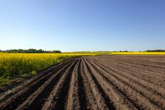 Agricultural field . potatoes Stock Photos
