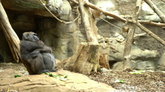 Gorilla sitting in cage scratching head a little confused 4k Stock Footage
