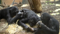 Chimpanzee family grooming each other while laying down in straw 4k Stock Footage
