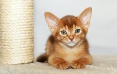 Abyssinian kitten ,  cat - stock photo