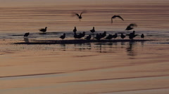 Oystercatchers Water Birds Silhouette Stock Footage