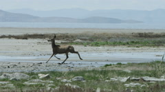 Small deer runs through marshy land - stock footage