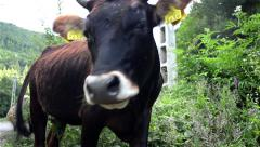 Brown cow is grazing in the weeds and plagued by flies do not give him peace 1 Stock Footage