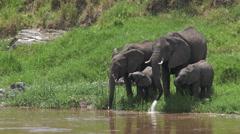 Elephants drinking from Mara river Stock Footage