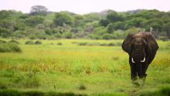 Elephant walking heading on close camera right Stock Footage