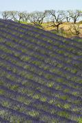fields of lavender Plateau de Valensole Provence - stock photo
