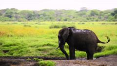 Elephant male having a mud bath Stock Footage