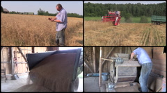Farmer man check harvest and sift wheat plant. clips collage Stock Footage