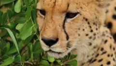Cheetah close up of face by bush Stock Footage