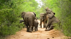 Elephant Herd on Road Stock Footage