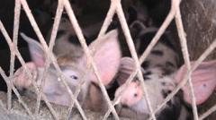 Pig Farm domestic farm Stock Footage
