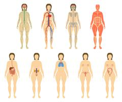 Set of human organs and systems of the body vitality. Stock Illustration
