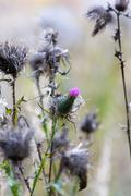 Thistle flower closeup summer day Stock Photos