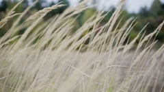 Wild field of grass, warm toning, lens flares, shallow DOF Stock Footage