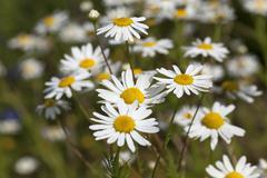 daisies , spring  season - stock photo