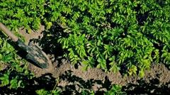 Digging up fresh organic potatoes Stock Footage