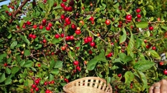 Picking up red cherry from cherry tree Stock Footage