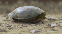 Close Painted Turtle on Gravel Road - Side - High-hat Stock Footage