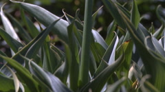Close-up tilt up to a white Cala lily growing in a California flower field - stock footage