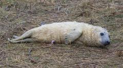 Newborn Grey Seal Pup on Grass Dune - stock photo
