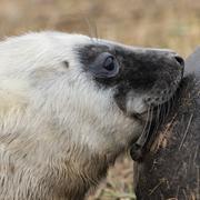 Suckling Grey Seal Pup Stock Photos