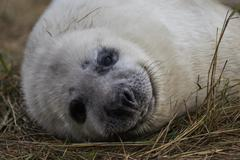 Grey Seal Pup in Grass Dune. Stock Photos